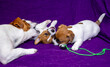 canvas print picture - Jack Russell Terrier puppies are playing with their mom on a purple background