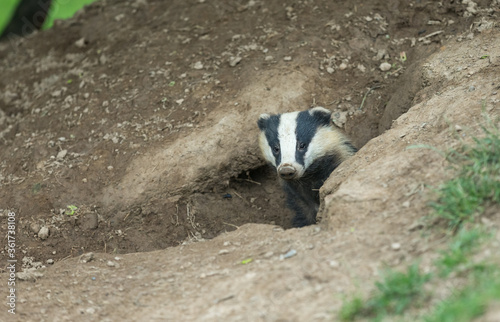 Valokuva Badger (Scientific name: Meles meles) Close up of a wild, European badger with muddy nose, in natural habitat, emerging from a badger sett
