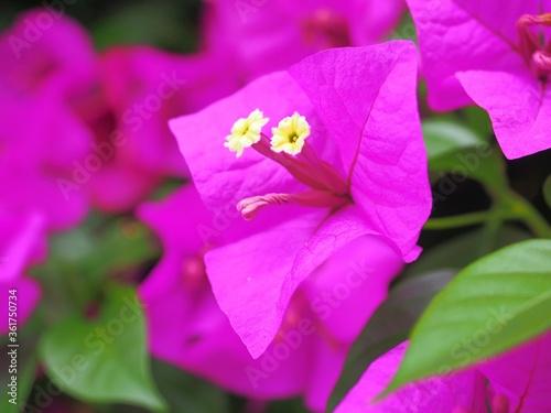 Canvas Print pink bougainvillea flower close-up