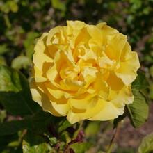 Yellow Doris Day Rose
