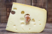 Dreams Come True! Cute Happy And Fed Mouse In Tasty Swiss Cheese With Holes. Full Pet - Gourmet. Funny Satiated Animal. Mouse Has Delicious Dinner. Glutton, Gluttony. Symbol Of Chinese New Year: Rat