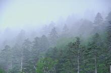 霧に覆われた針葉樹の...