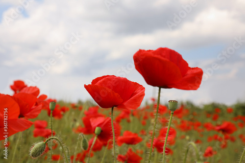 Fototapety, obrazy: Beautiful red poppy flowers growing in field, closeup