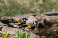 Two Thirsty European Goldfinch Drinking Water From A Small Stream