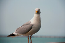 An Important Seagull Sitting O...