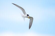 Little Tern Flying