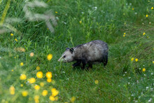 The Opossum On A Forest Trail In The Morning Dew. Opossum Is Native American Animal.