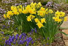Spring Flowers Of Daffodils An...