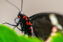 A Macro Image Of A Black And Red Butterfly Resting On A Leaf At The Butterfly Garden In Benalmadena, Spain