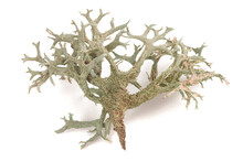 Cetraria Islandica (iceland Moss)