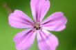 canvas print picture - Beautiful little flower of Geranium robertianum, commonly known as Herb-Robert, Red Robin, Fox geranium or Roberts Geranium, is a common species of cranesbill native to Europe, Asia, North America.