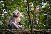 Female Long Tailed Monkey Looking Into The Sky As She Holds Her Baby And Breastfeeds It On A Wall, UBUD MONKEY FOREST, BALI, INDONESIA