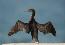 Socotra Cormorant Drying Its W...
