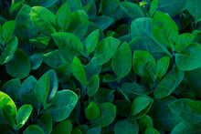 Natural Dark Green Leaves,Abst...