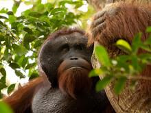 Large Male Bornean Orangutan I...