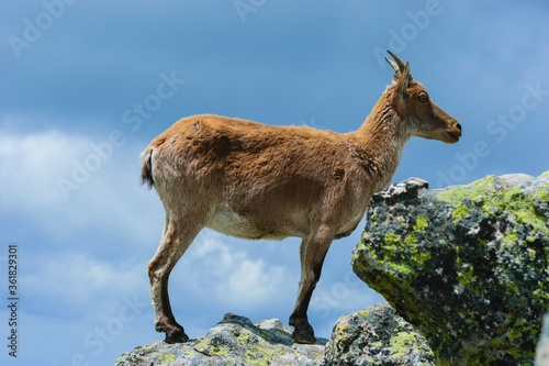 Beautiful shot of a white-tailed deer in rocky mountains Canvas Print