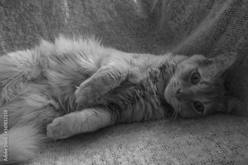 Photo tres mignon chat angora turc qui dors sur un coté avec les pattes collées au cor