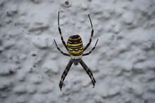 Closeup Shot Of A Yellow Garden Spider Coming Down