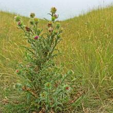 Thorny Thistle Bush In Summer Field