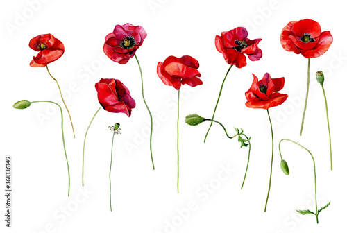 Set of watercolor scarlet poppies on a white background.