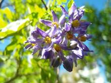 Closeup Shot Of Blooming Purple Brazilian Nightshade Flowers At Daytime