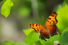 The Question Mark Butterfly, Polygonia Interrogationis