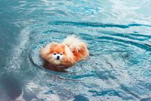 Pomeranian Spitz Dog, Cute Lit...