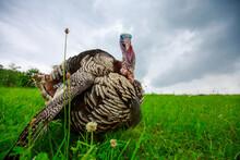 Portrait Of A Turkey On A Green Meadow