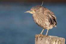 Black Crowned Night Heron - Im...
