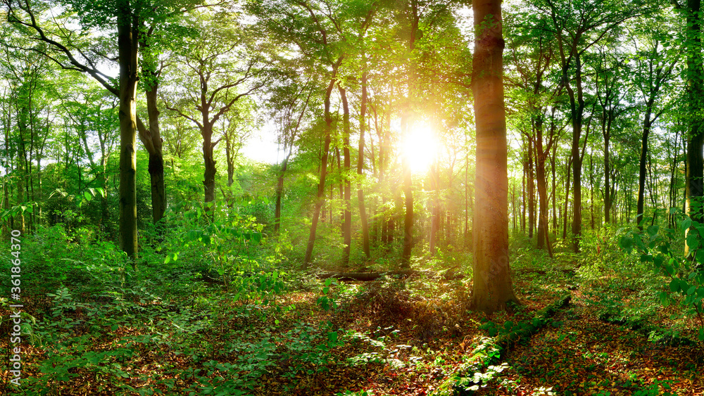 Fototapeta Beautiful forest with big trees at sunset