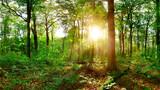 Fototapeta Krajobraz - Beautiful forest with big trees at sunset