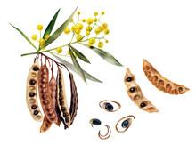 Australian Spice Acacia Wattle...