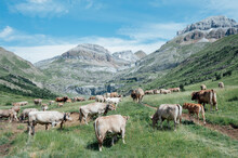 Cows Grazing In The Mountain M...