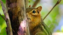 Chipmunk Sitting In Apple Tree