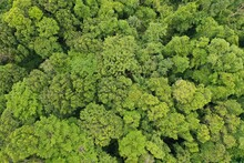 Rainforest Trees Canopy From A...
