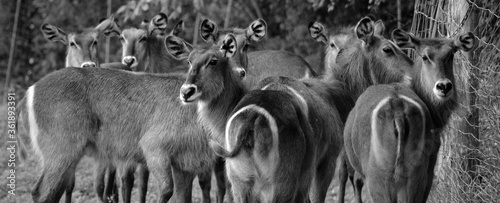 Fototapety, obrazy: The waterbuck is a large antelope found widely in sub-Saharan Africa. It is placed in the genus Kobus of the family Bovidae.