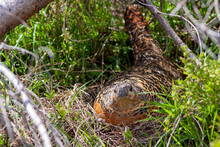 Beautiful Female Capercaillie In Mountain Forest Sitting On Eggs Hidden Under A Young Tree ( Tetrao Urogallus )