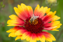 Collecting Nectar And Pollen By A Bee. The Insect's Head Is Covered With Pollen. Flower In The Center. The Background Is Blurry.