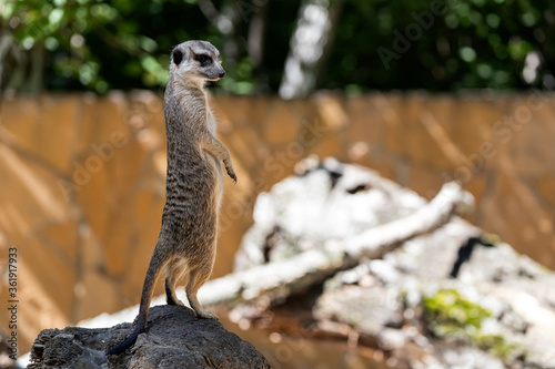 Cuadros en Lienzo One young meerkat stands on a stone and guards the territory of the family