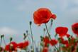 red poppy flowers on the green plain