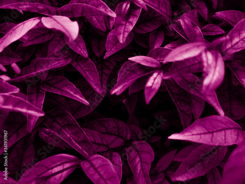 Beautiful abstract color blue and purple flowers on black background and purple graphic pink flower frame and pink leaves texture, purple background, colorful graphics banner, purple leaves #361931967