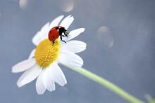 Macro Ladybug On A Plant Flowers