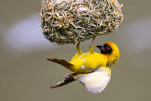 A Male Southern Masked Weaver Building Nest Of Green Grass