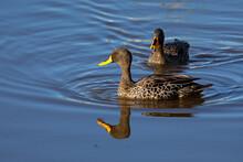 Pair Of Yellow Billed Ducks On...