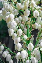 White Yucca Flowers On The Law...