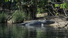 River Crocodile Sunbathing On The Bank