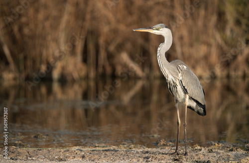 Grey Heron at Asker marsh, Bahrain Canvas Print