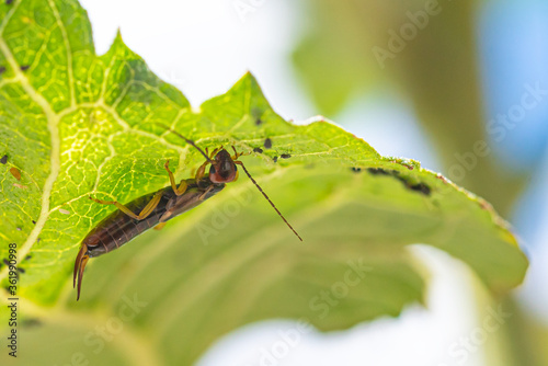 An Earwig (Forficula auricularia) hunting Black bean aphids (Aphis fabae) on the underside of a sunflower leaf Wallpaper Mural
