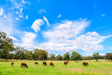 Cows Grazing On A Dairy Farm I...