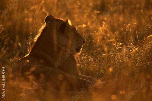 Lion in the morning light with rim light, Masai Mara Wallpaper Mural